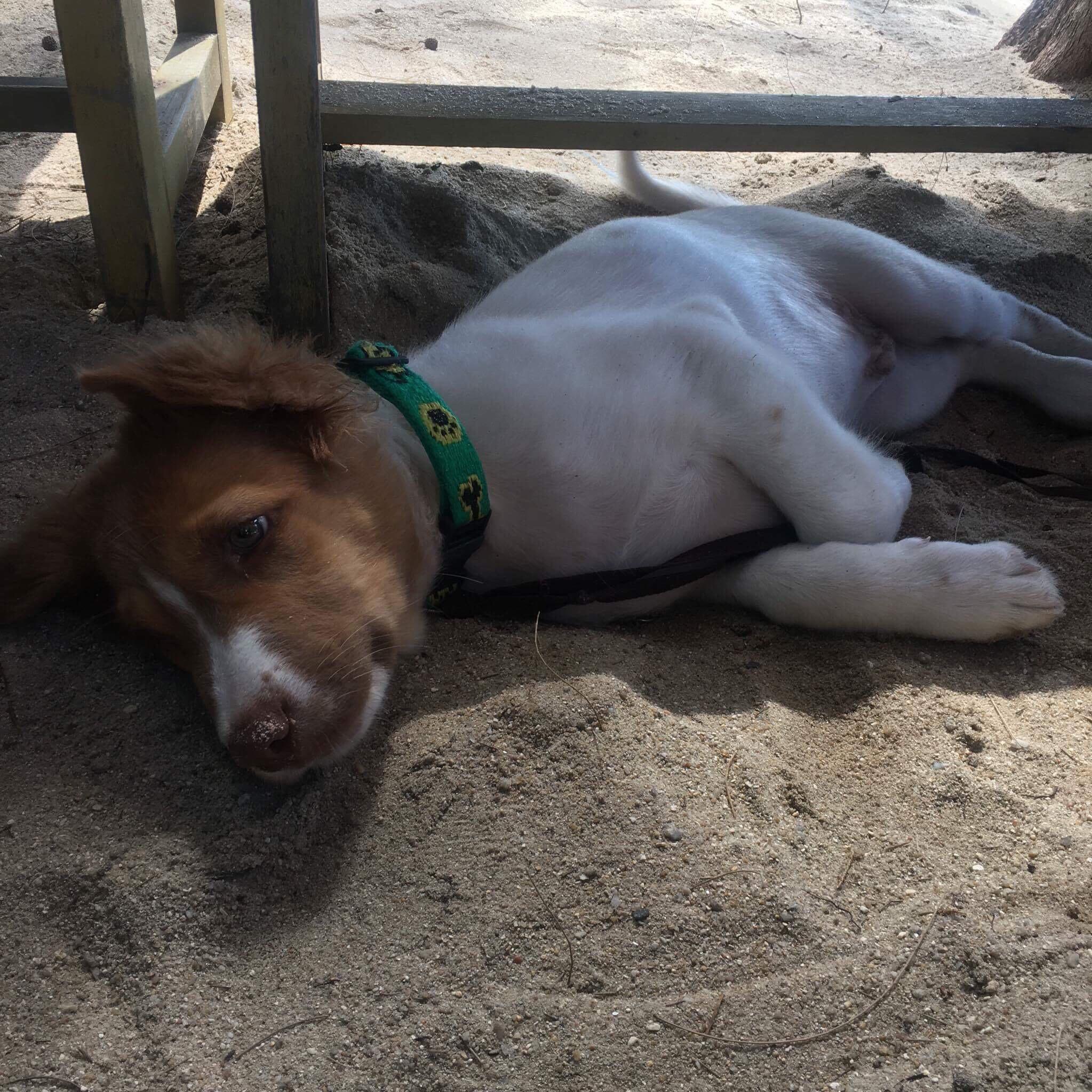 Hunden Soda på Bobs bar på Phuket.